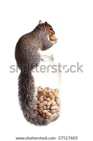 Squirrel has found a unique walnut among peanut - stock photo