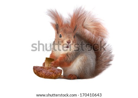 squirrel holds a mushroom on a white background - stock photo