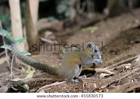 Squirrel in a forest at Kaeng Krachan National Park,Phetchaburi Province, Thailand - stock photo