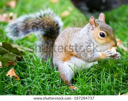 Squirrel in Hyde Park, London, Uk - stock photo