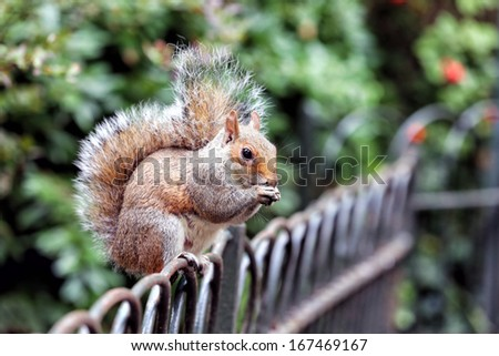 Squirrel in St James Park, London - stock photo