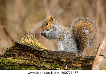 Squirrel in the wild - stock photo