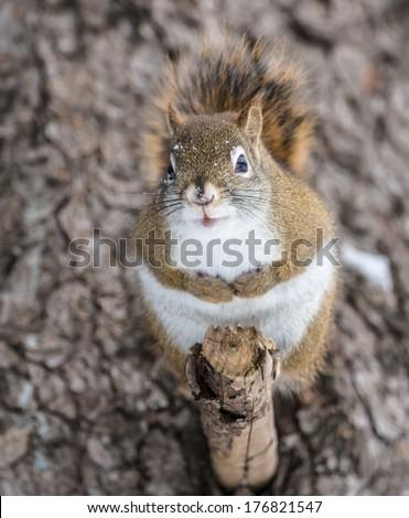 Squirrel in Winter  - stock photo