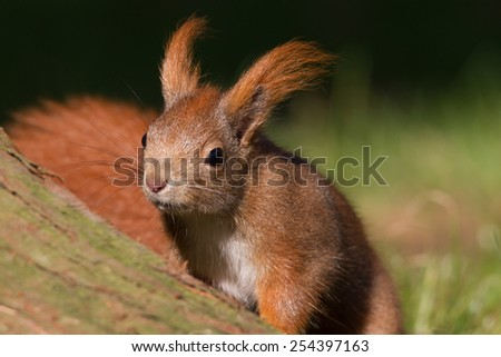 squirrel is looking for nuts in grass - stock photo