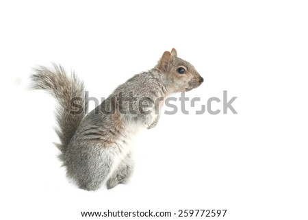 Squirrel Isolated white background - stock photo