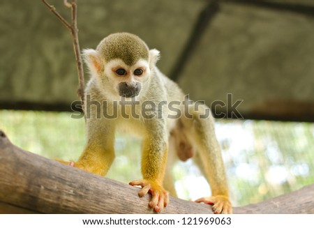 Squirrel Monkey;Common Squirrel Monkey on a branch (Saimiri sciureus,shallow DOF) - stock photo