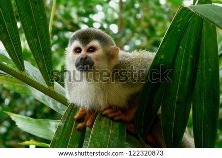 Squirrel monkey in Manuel Antonio National Park, Costa Rica - stock photo