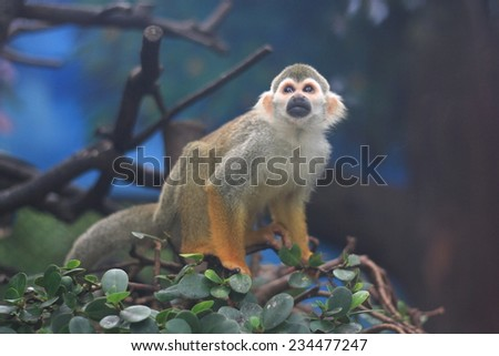 Squirrel Monkey (Saimiri sciureus) - stock photo
