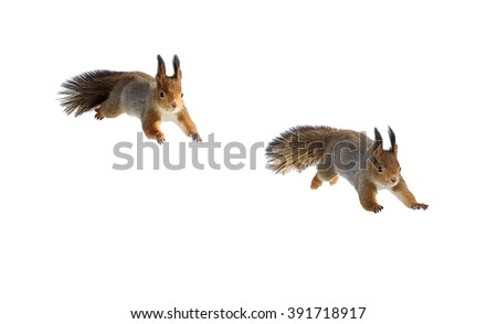 squirrel on a white background and two phases of its jump - stock photo