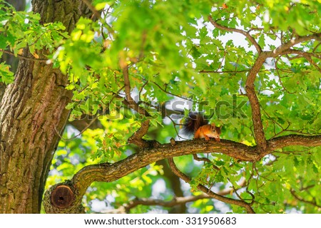 Squirrel on branch of oak tree in summer time  - stock photo