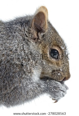 Squirrel Portrait in Winter - stock photo