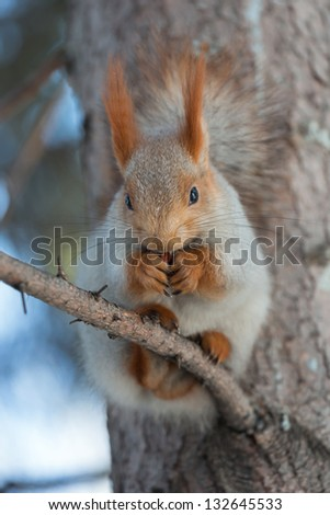 Squirrel sitting on a branch of spruce. Photo without treatment. - stock photo