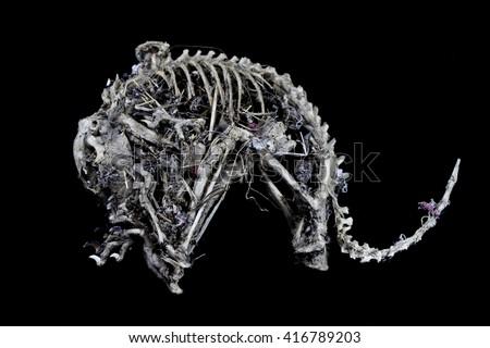 Squirrel Skeleton on Black background - stock photo
