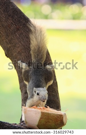 Squirrel taking food from coconut feeder  - stock photo