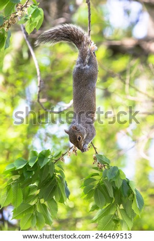 Squirrel upside down on a tree branch. - stock photo