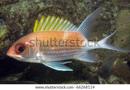Squirrelfish-Holocentrus adscensionis, picture taken in south east Florida. - stock photo
