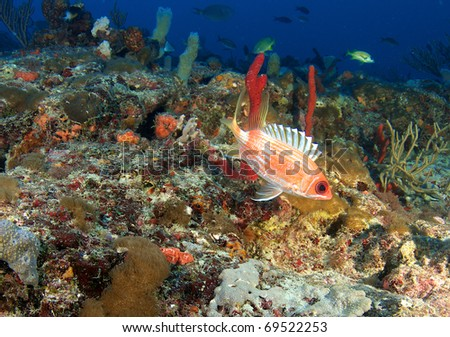 Squirrelfish on a reef ledge in south east Florida. - stock photo