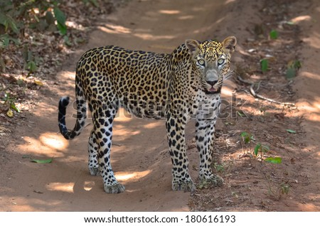 Sri Lankan Endemic Leopard - Panthera Pardus Kotiya. The population of Sri Lankan Leopard is believed to be declining due to numerous threats and no subpopulation is larger than 250 individuals - stock photo