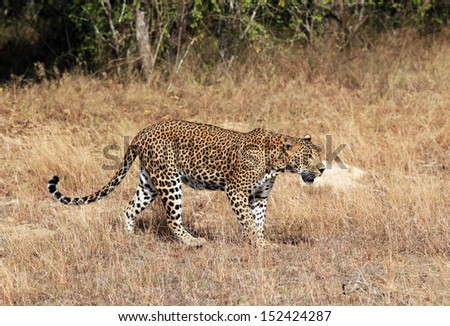 Sri Lankan Leopard (Panthera Pardus Kotiya) Walking in Grass, Yala, Sri Lanka - stock photo