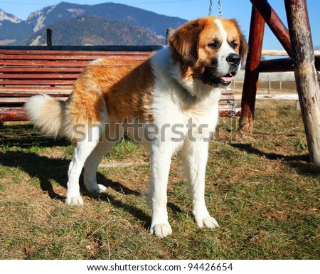 St. Bernard dog - stock photo