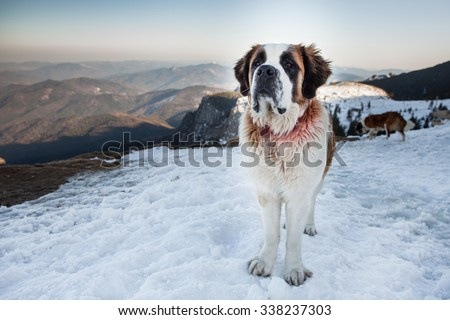 St. Bernard Dog in the mountains - stock photo