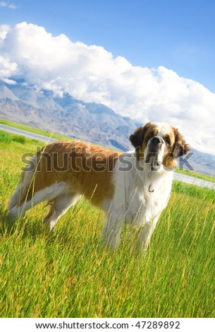 St. Bernard dog is on the alpine meadow - stock photo