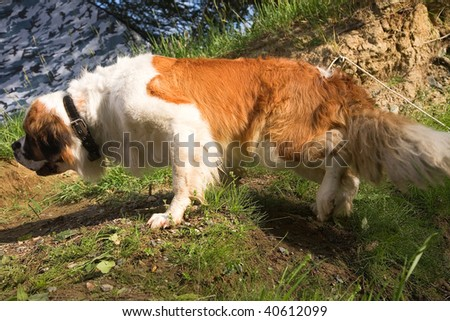 St. Bernard dog on the shore of the reservoir - stock photo