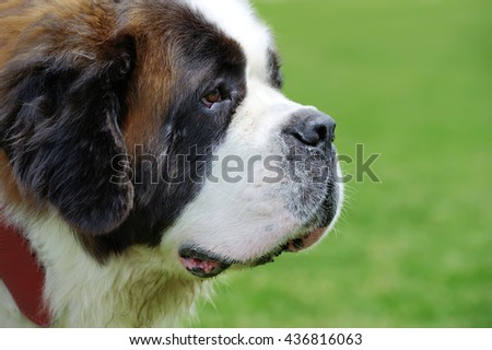 St. Bernard dog portrait  on green summer grass background - stock photo