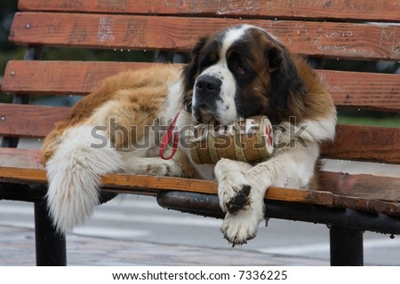 St. Bernard on bench with whiskey barrel - stock photo