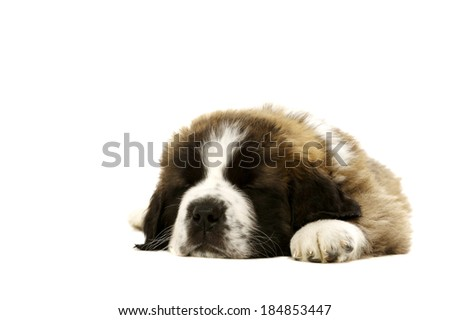 St Bernard puppy laid asleep isolated on a white background - stock photo