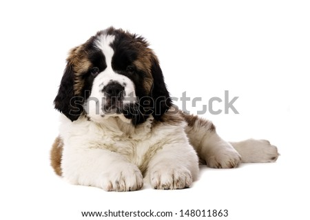 St Bernard puppy laid looking at the camera isolated on a white background - stock photo