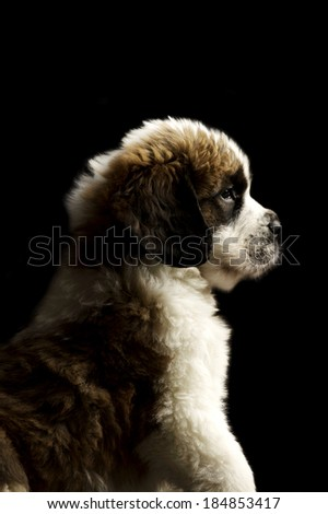 St Bernard puppy sat isolated on a black background - stock photo