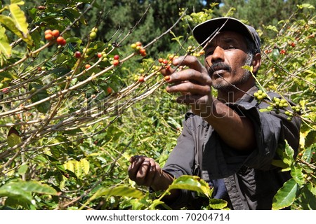 St Helena coffee farmer picking ripe cherry beans - stock photo