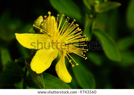 St. John's wort flower with buds close-up in dark background - stock photo