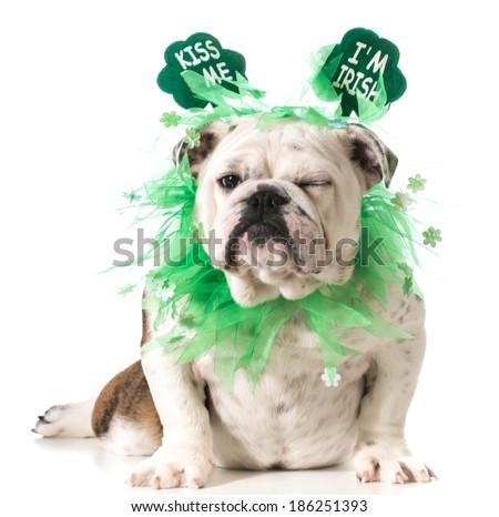 St. Patricks Day dog - english bulldog wearing kiss me I'm Irish headband isolated on white background - stock photo