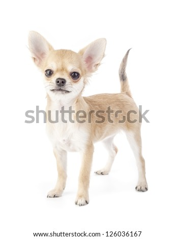 Stacking purebred chihuahua puppy on white background - stock photo