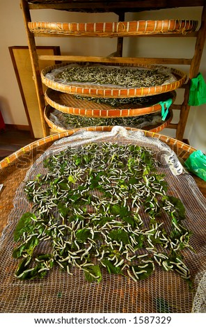 Stacks of silkworms eating mulberry. - stock photo