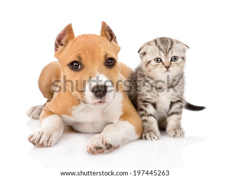 stafford puppy and scottish kitten together. isolated on white background - stock photo