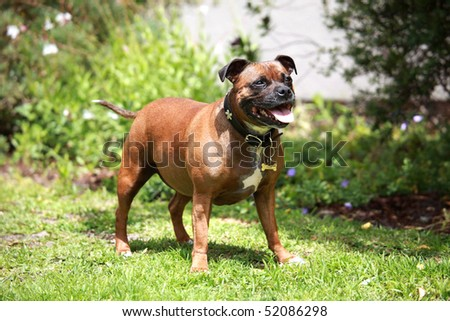 Staffordshire Bull Terrier Stock Photos, Illustrations, and Vector Art