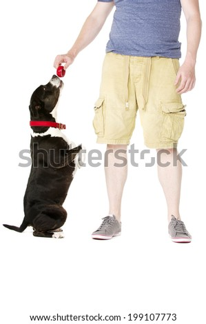 Staffordshire Bull Terrier begging at owner - stock photo