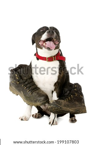 Staffordshire Bull Terrier carrying muddy walking boots looking at the camera isolated on a white background - stock photo