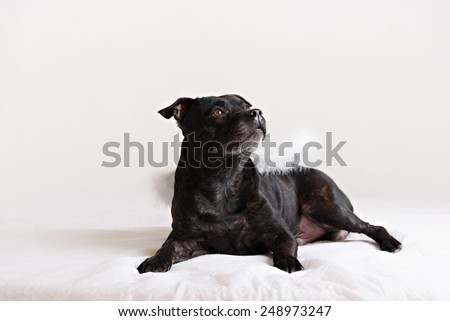 staffordshire bull terrier dog in angel wings - stock photo