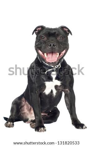 staffordshire bull terrier dog sitting - stock photo