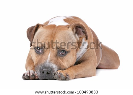 bull terrier in front of a white background stock staffordshire bull ...