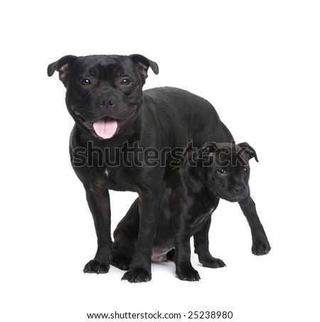 Staffordshire Bull Terrier () in front of a white background - stock ...