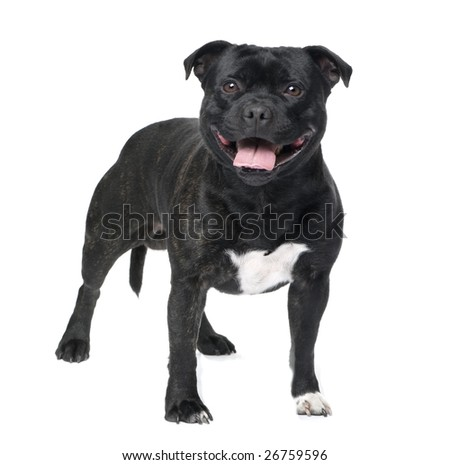 Staffordshire Bull Terrier () in front of a white background - stock photo