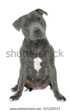 staffordshire bull terrier in front of white background - stock photo