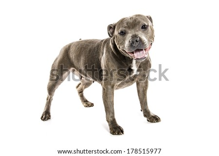 Bull-terrier Stock Photos, Images, & Pictures | Shutterstock
