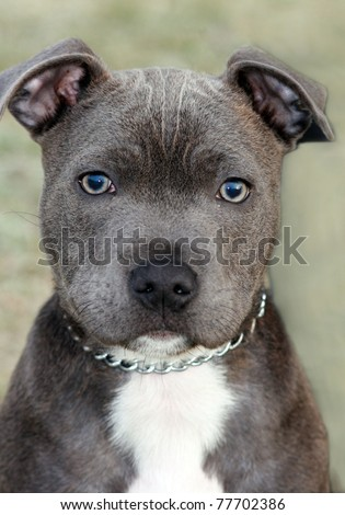 Staffordshire Bull Terrier pitbull puppy - stock photo