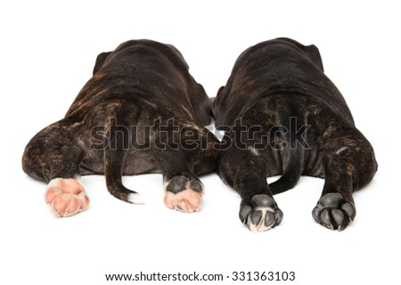 Staffordshire bull terrier puppy paws in front of white background - stock photo